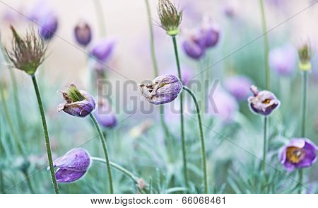 Wilted Pasque Flowers in a Garden