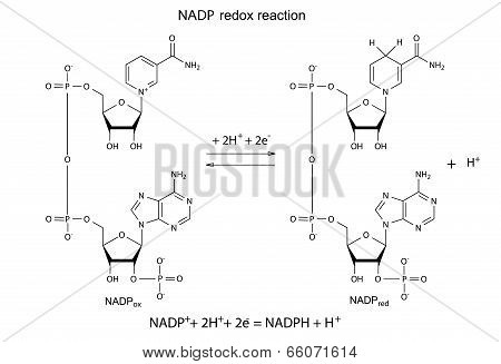 Illustration Of NADP Redox Reaction