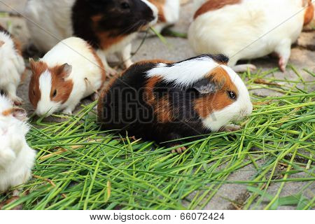 Group Of Guinea Pig