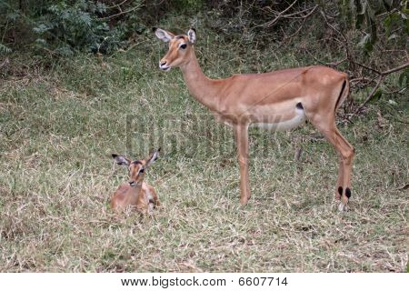 Impala Mother And Foal