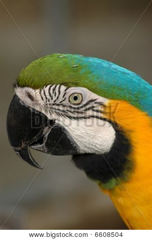 Blue-and-gold Macaw's Head In Detail