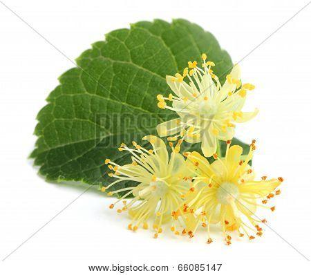 Linden Flowers.