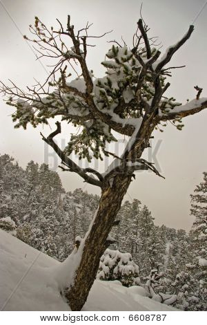 Pine In Blizzard