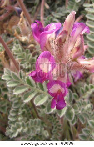 Locoweed Blooms