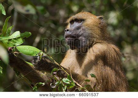 Western Baboon (papio Papio) Eating Ripe Berries
