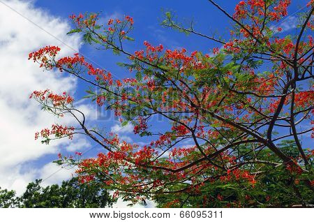 Delonix Regia Tree.