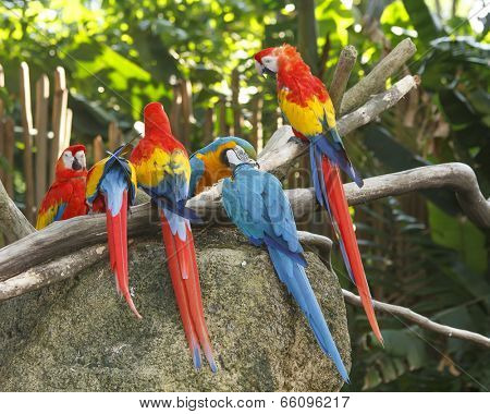 Scarlet and Blue and Yellow Macaw birds