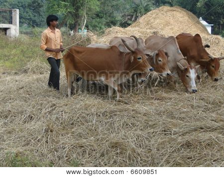Villagers Use Cattle To Thresh Their Wheat