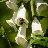 foto of digitalis  - White rare and deadly foxglove flowers  - JPG