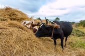 stock photo of yoke  - A pair of oxen fitted with a yoke eating from a haystack - JPG