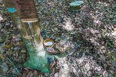 stock photo of afforestation  - milk of rubber tree flows into a bowl Close up - JPG