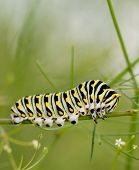 stock photo of caterpillar  - Black Swallowtail caterpillar feeding on a plant from the carrot family - JPG