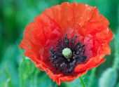foto of opiate  - Big red poppy flower on a meadow close up