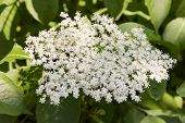 picture of elderberry  - White inflorescence elderberry (Sambucus nigra) as background