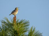 stock photo of meadowlark  - Western meadowlark sings from top of Ponderosa Pine tree - JPG