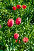 image of garden eden  - Beautiful tulip meadow in spring garden selective focus - JPG