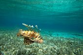 foto of lion-fish  - Lion fish swimming under water - JPG