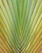 Ravenala Madagascariensis  Palm poster
