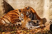 stock photo of tiger cub  - The tiger mum in the zoo with her tiger cub  - JPG