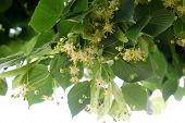 stock photo of lime-blossom  - linden tree flowers blossoming on the branch - JPG