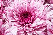 stock photo of chrysanthemum  - background of beautiful pink chrysanthemums close up - JPG
