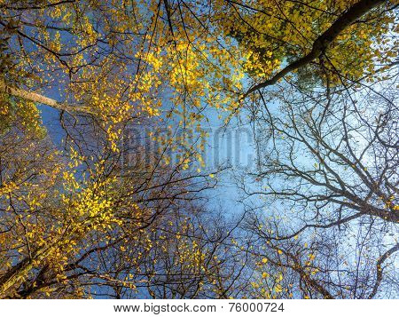 Tree crowns in fall colors shot upwards