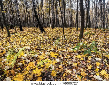 Forest in autumn with dead leaves lying on the ground