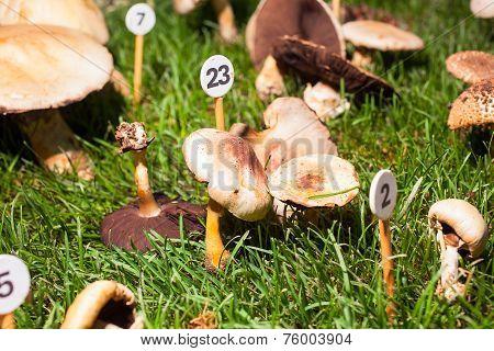 Mushroom Agaricus Porphyrizon