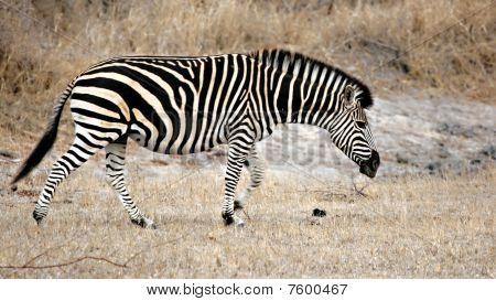 Zebra, Sabi Sands, Kruger National Park