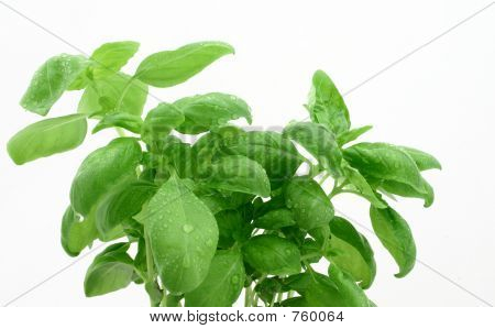 Basil's Leaves With Dewdrops