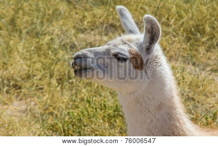 Chewing White Lama In The Andes Mountains