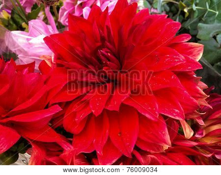 Macro of an Red Melody Swing Dahlia
