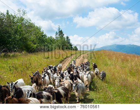 Flock Of Goats On The Dirt Road In The Carpathians