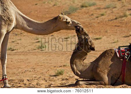Camel's kiss