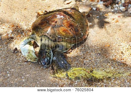 Dead Semi-aquatic Turtle On Sand, Beach, Sea