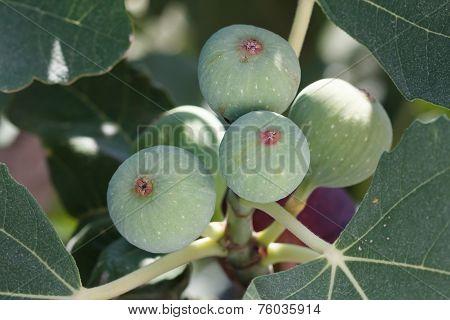 Common Fig (Ficus carica)