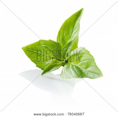 Basil central rosette leaves close-up isolated