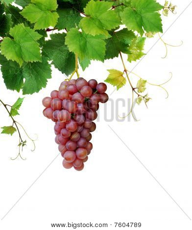 Fresh grapevine with pink grape