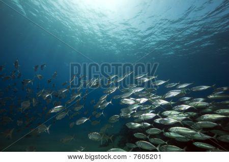 Mackerel School Feeding
