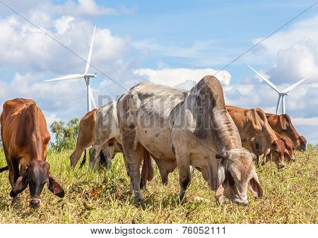 A Mixed Herd Of Cattle With Windmill Farm On A Bright Sunny Day Near Wind Electricity Plant.