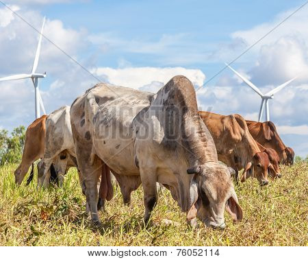 Group Of Farm Cattle Grazing On Farmland With Wind Farm Background.