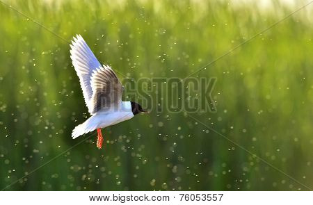 The Black-headed Gull (chroicocephalus Ridibundus)