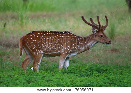 Chital or the Spotted Deer (Axis axis)