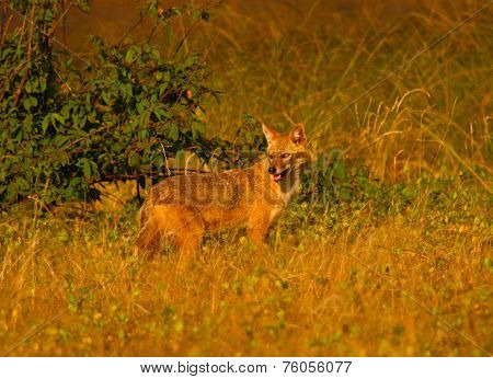 Golden Jackal (Canis aureus) looking around