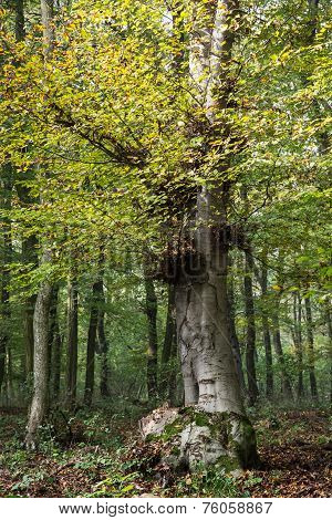 Big Deciduous Tree In A Dense Forest