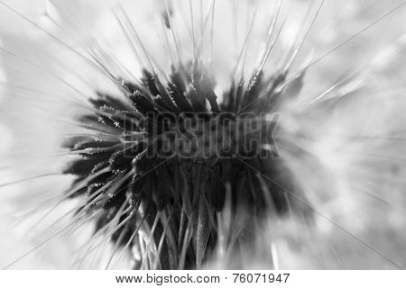 Abstract dandelion flower background, extreme closeup.