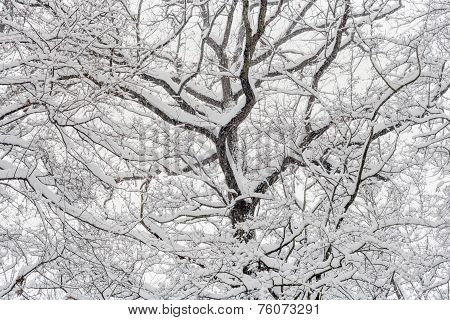 Snow Covered Treetop