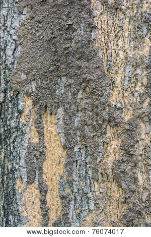 Closeup Of Termite Colony On A Bark Of A Tree