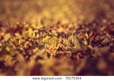 Dry Rust-colored Fallen Autumn Leaves