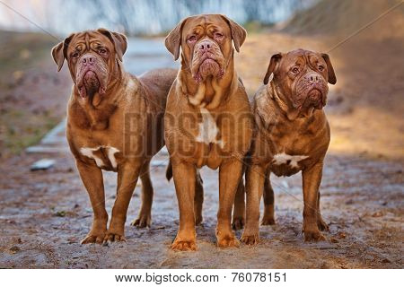 three dogue de bordeaux dogs